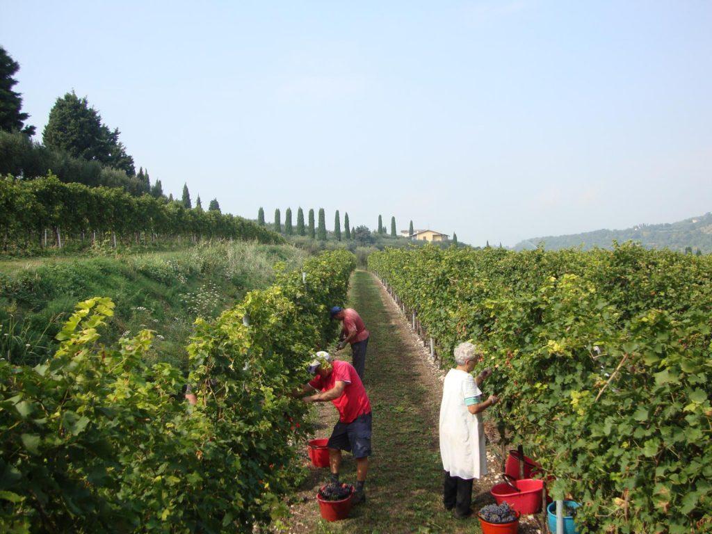 Brennerei Franceschini bei der Traubenernte